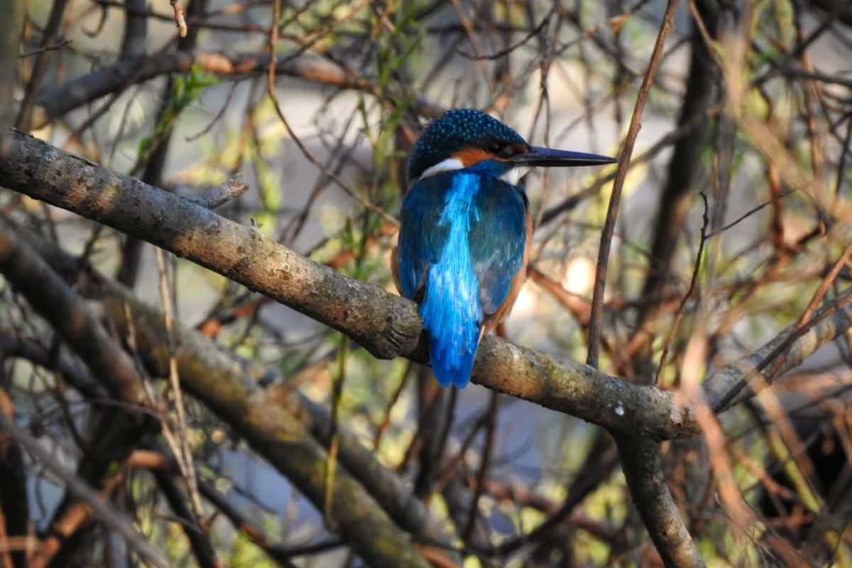 Kingfisher in Prague